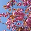 【宮城・登米】八重桜、満開