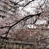 目黒川の桜見てきた2019!【1】(目黒駅側)