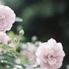 Contax Ariaで撮った薔薇。