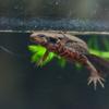 アカハライモリCynops pyrrhogaster