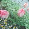 庭のチューリップ、日日草、紫陽花
