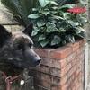 甲斐犬サンの「情熱の花は冬に咲く」の巻〜ヵッコ(●゚▽゚)ィィ!