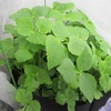 【ベランダ菜園】初心者OK!超簡単・三つ葉の再生栽培