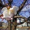 大寒桜が咲き始めていました