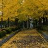 木場公園の銀杏並木