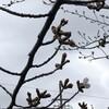 桜の咲きはじめ 2019