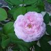 2番花が咲いてきました「ジャック・カルティエ」