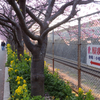 三浦海岸に河津桜を見にきました!!!