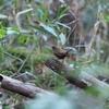 今日の鳥撮り 小春日和のミソサザイ-1