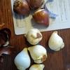 チューリップ球根の植えつけのポイント〜植木鉢編