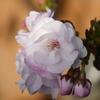 ベランダの植木「八重桜」が開花