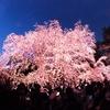 東京夜桜巡り①~六義園 魅惑のシダレザクラ~