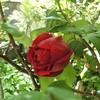 バラが咲いた&「米軍の地位協定、こんなに違う!」と「日米地位協定を取り上げた田村淳の番組」