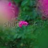 Shutterstockで売れたもの【9】〜新しい分野・バラ