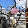 MY河津桜