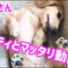 子犬マイティとマッタリ動画 カニンヘンダックス 8ヶ月1週目