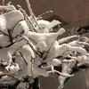 今日の1枚 スゴイ吹雪で梅の花もかわいそう