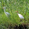 手賀沼脇の水路にいた夏羽のアマサギと冬羽のチュウサギ