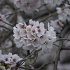 【2017_京都花見】春の京都の桜を撮ってきたのでUPする!