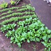 11月24日に雪が降ってびっくりしたけど、庭の野菜は元気です。