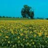 GIMPのチャンネルミキサーでひまわりの風景写真の色を変えて遊ぶ。