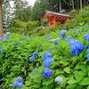 京都・宇治 - 紫陽花咲く三室戸寺