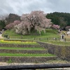 圧巻!奈良県の又兵衛桜に心癒される休日