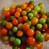 今年最後のミニトマト
