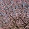 NIKON Df 遅い桜を満喫