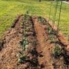 超ど素人がいよいよ家庭菜園を始めました。赤土粘土の土にバーミキュライトを混ぜたものの全然足りないなぁ…