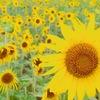 梅雨時期に宮古島に突如現れる「ひまわり畑」の秘密