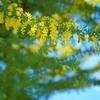 オールドレンズでミモザを撮りに【木場公園】へ行ってきました。