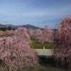 三重県「鈴鹿の森庭園/いなべ市農業公園」しだれ梅と梅
