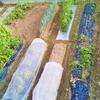 8月の菜園計画!万能深ネギ「森の奏で」収穫!