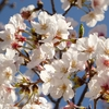 鹿児島市東谷山三丁目の清見公園の桜 in 2017