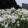 神代植物公園、満開の薔薇と芍薬。