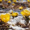 明るい黄色が誘う早春 生き残りをかけた植物たちの知恵とは