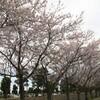 桜を撮りに出かけた