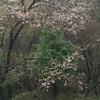 桜と大雨とコロナのこと。