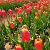 4月10日 、11日 マルシェかしまさんに大好きな料理人達が大集結です 佐倉ふるさと公園前にある