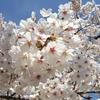 「桜の開花…!」の巻