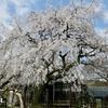"""海津市『専通寺』の""""三世代""""しだれ桜。"""