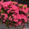 相模原の春 ハナミズキが咲き始めました!