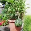 鉢植えのスイカを収穫しました。