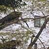 日本野鳥の会主席研究員と歩く明治神宮の森