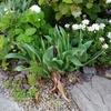 咲き終わったチューリップを処分