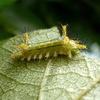 またイラガの幼虫ーー;