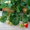 連れ合いの趣味イチゴ栽培