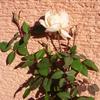 サフラノの開花