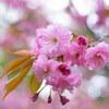 八重桜は見頃を迎えつつあります